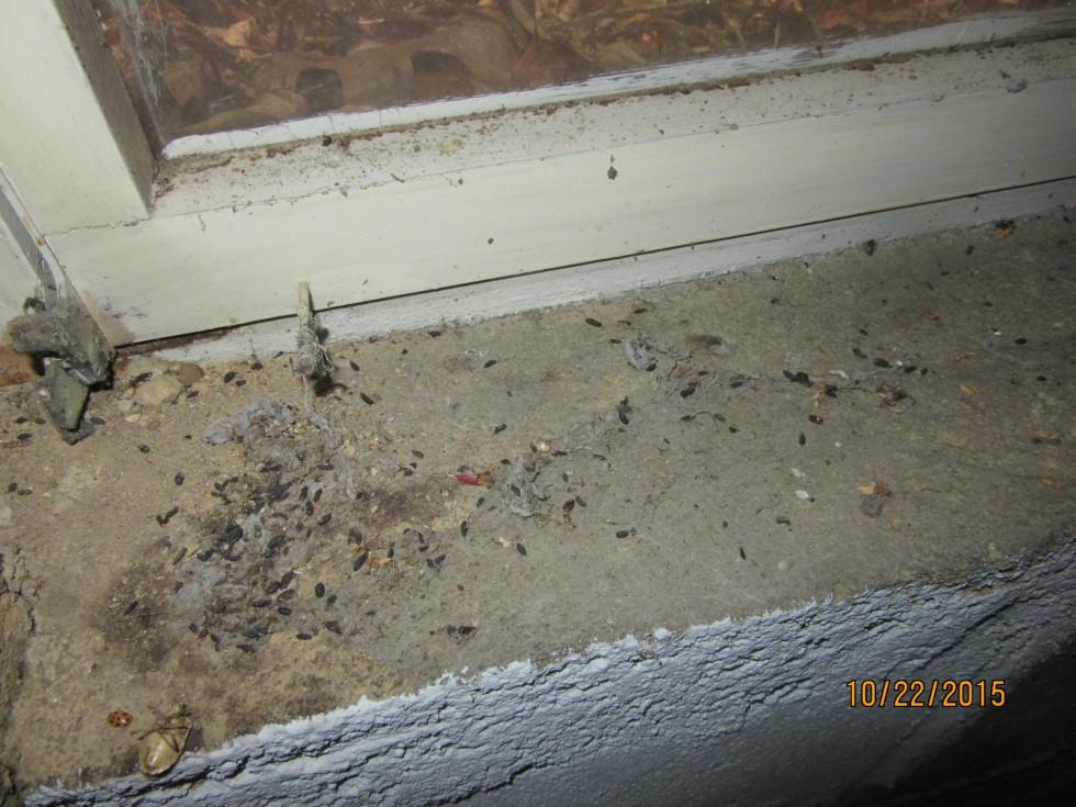 Fecal droppings on windowsill